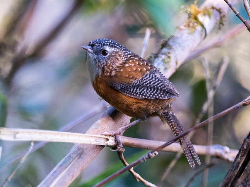 Bar-winged Wren Babbler