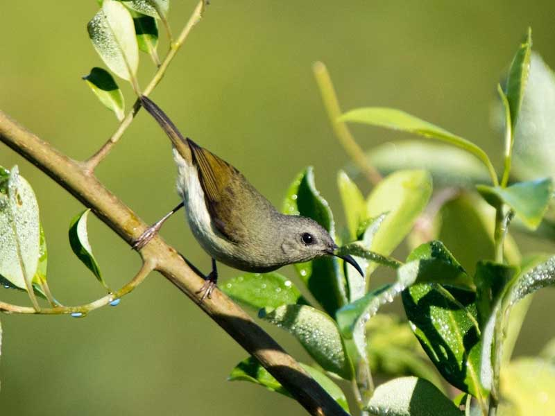 Black-throated Sunbird