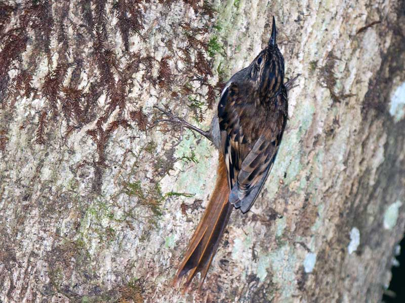 Brown-throated Treecreeper