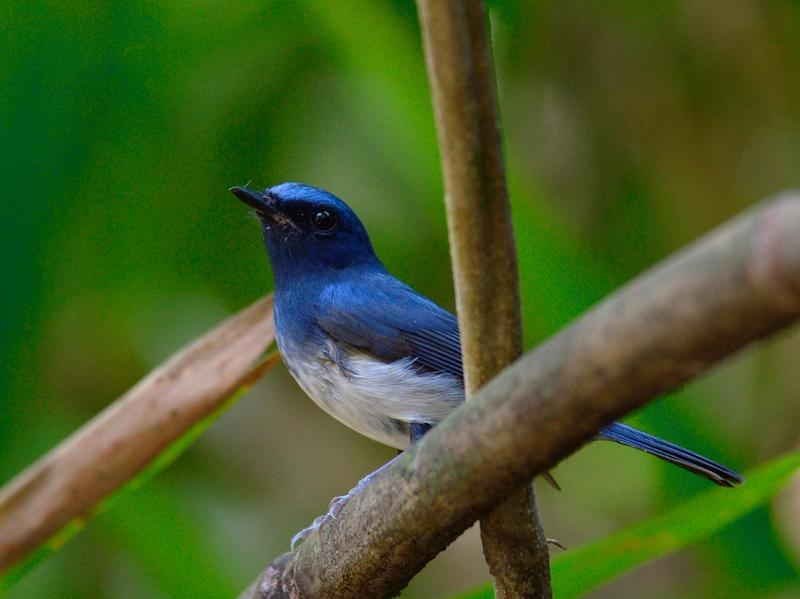 Hainan Blue Flycatcher