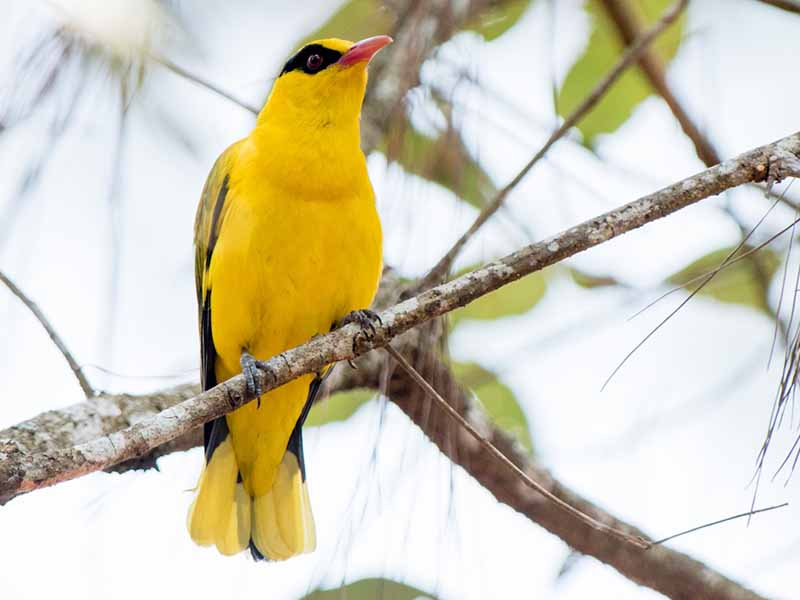 Slender-billed Oriole