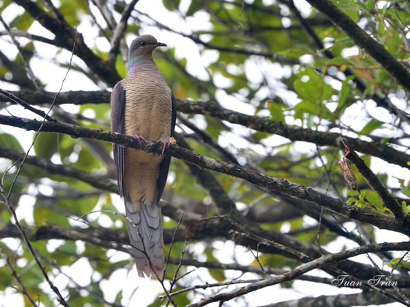 Barred Cuckoo Dove