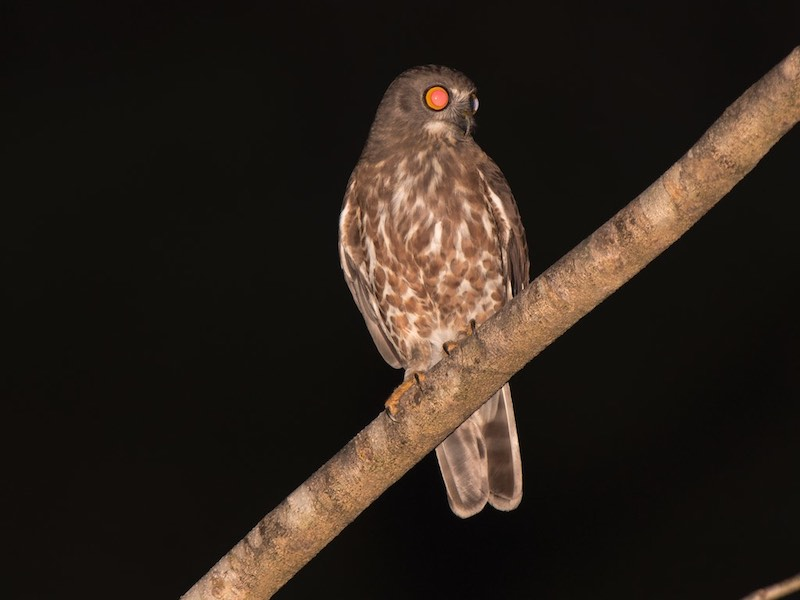 Brown Hawk Owl