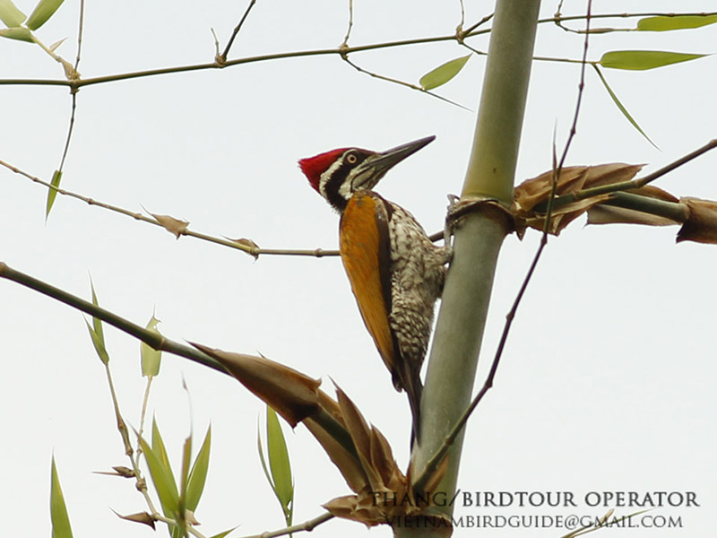 Greater Flameback