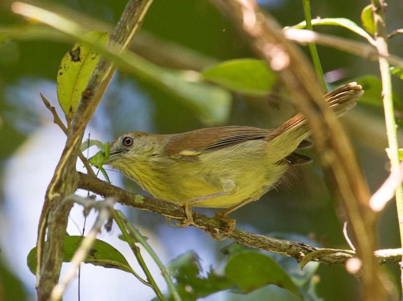 Pin-striped Tit Babbler