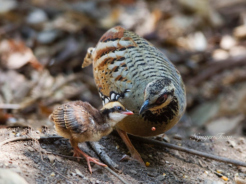 Bar-backed Partridge
