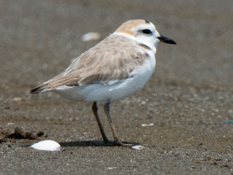 White-faced Plover