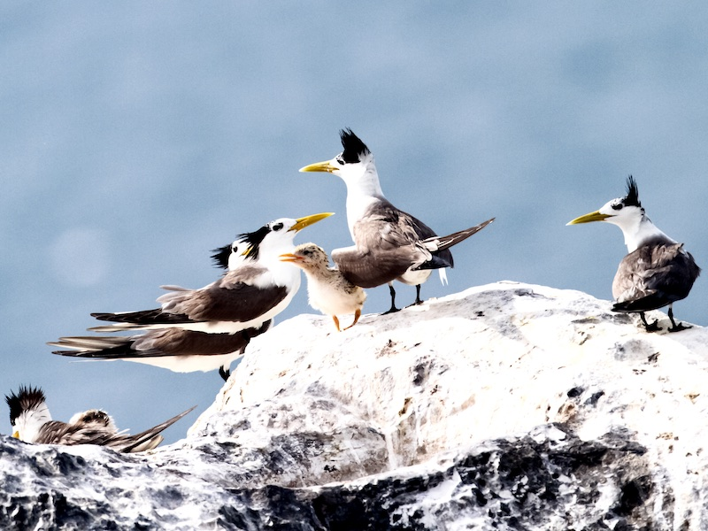 Greater Crested Tern