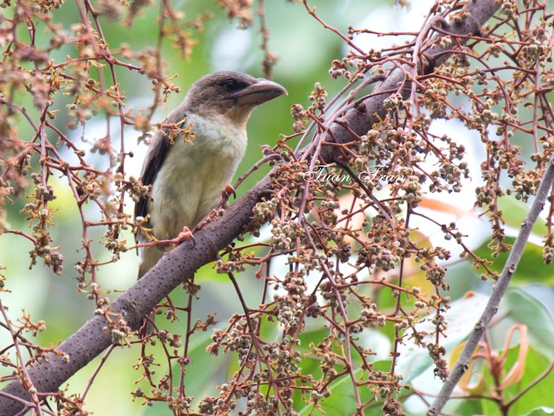 Brown Barbet
