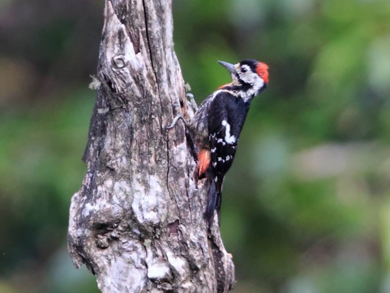 Crimson-breasted Woodpecker