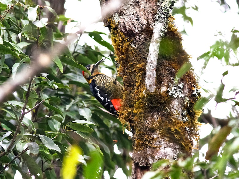 Darjeeling Woodpecker