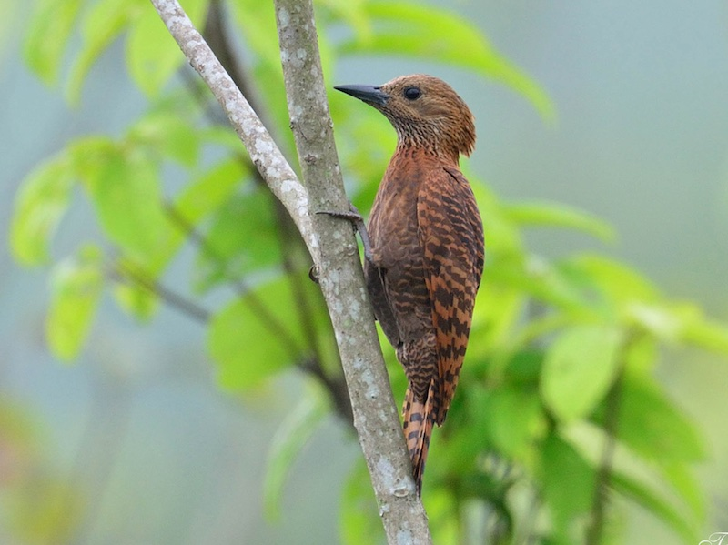 Rufous Woodpecker