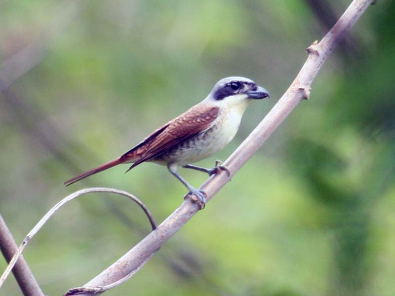 Tiger Shrike