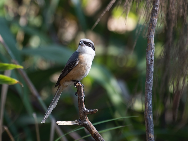 Grey-backed Shrike