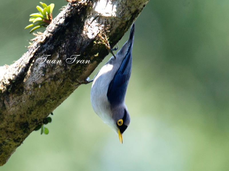 Yellow-billed Nuthatch