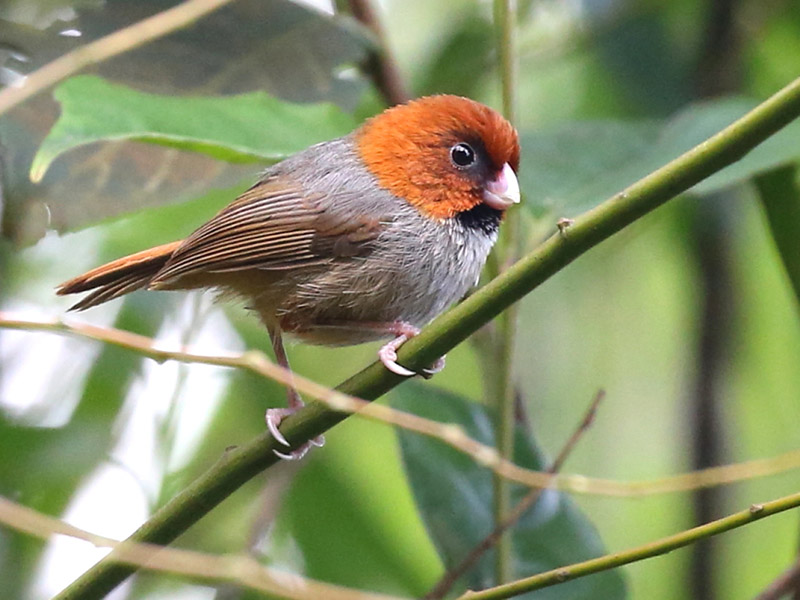 Short-tailed Parrotbill