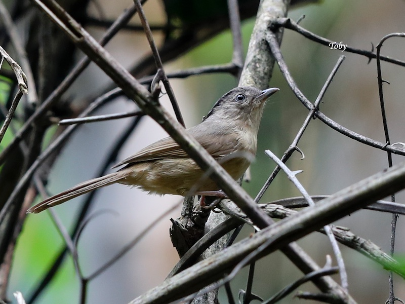 Brown-cheeked Fulvetta