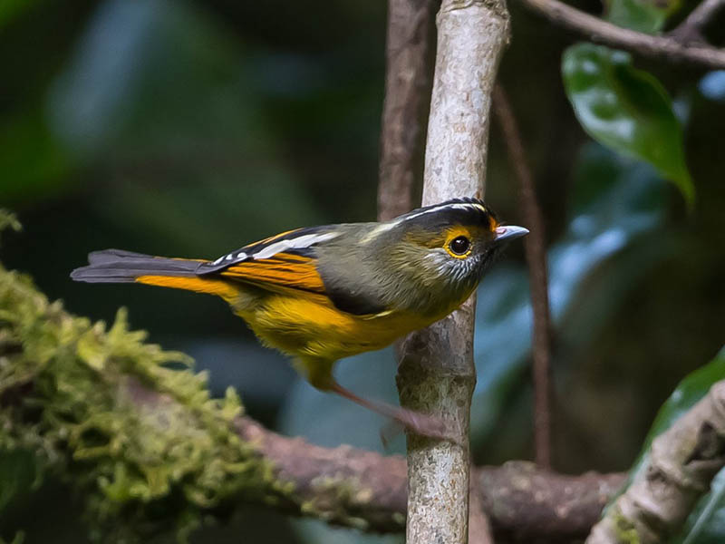 Golden-breasted Fulvetta