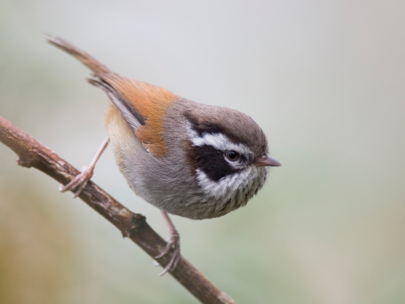 White-browed Fulvetta