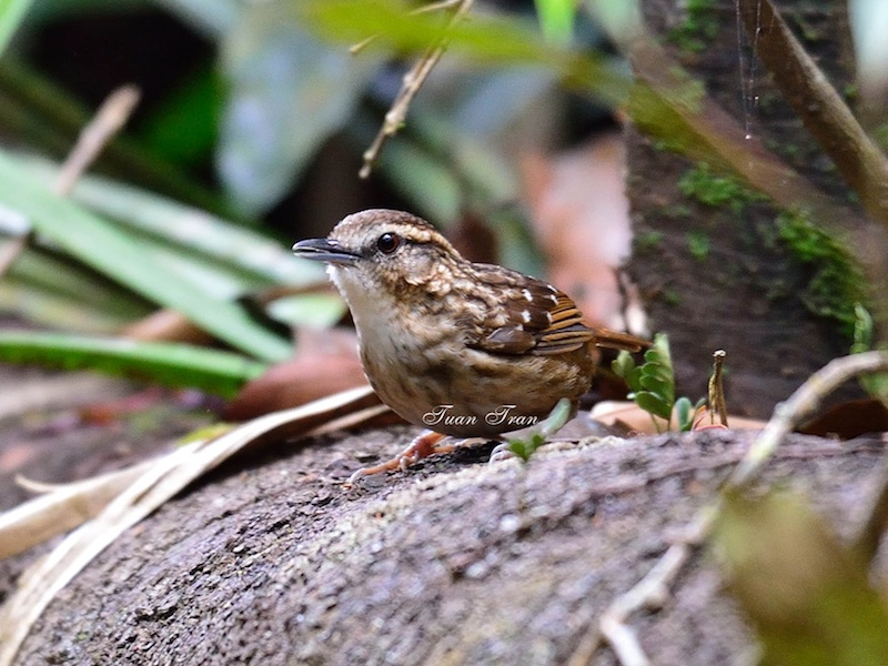 Eyebrowed Wren Babbler