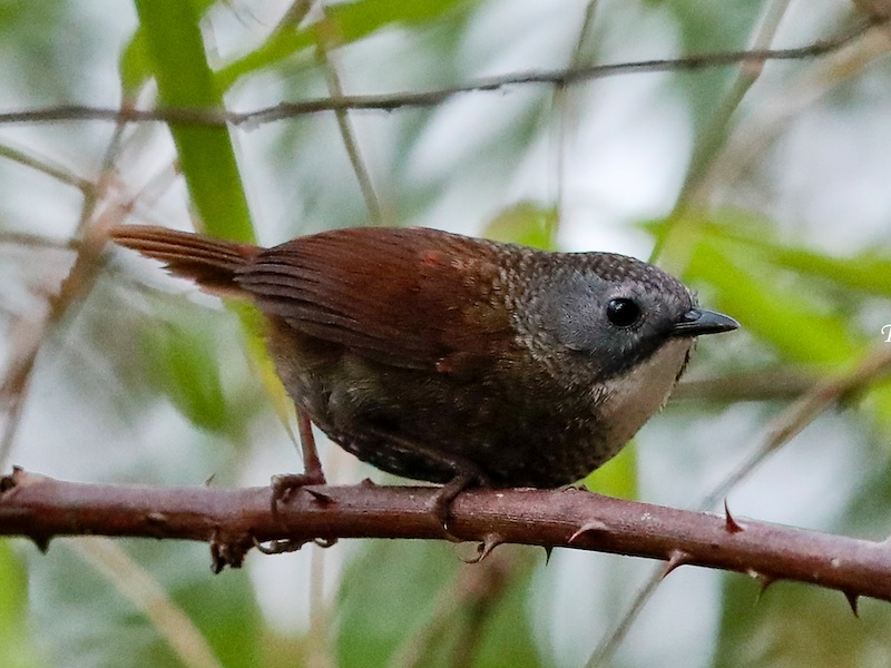 Pale-throated Wren Babbler