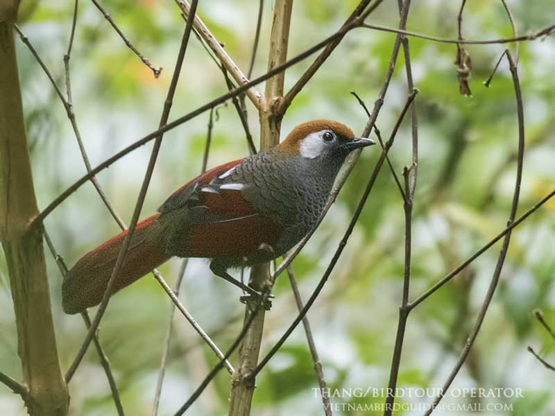 Red-tailed Laughingthrush