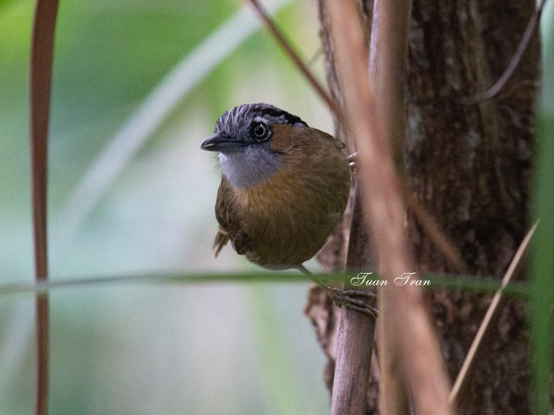 Gray-throated Babbler
