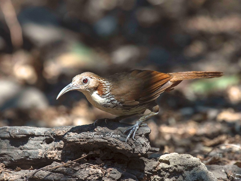 Large Scimitar Babbler
