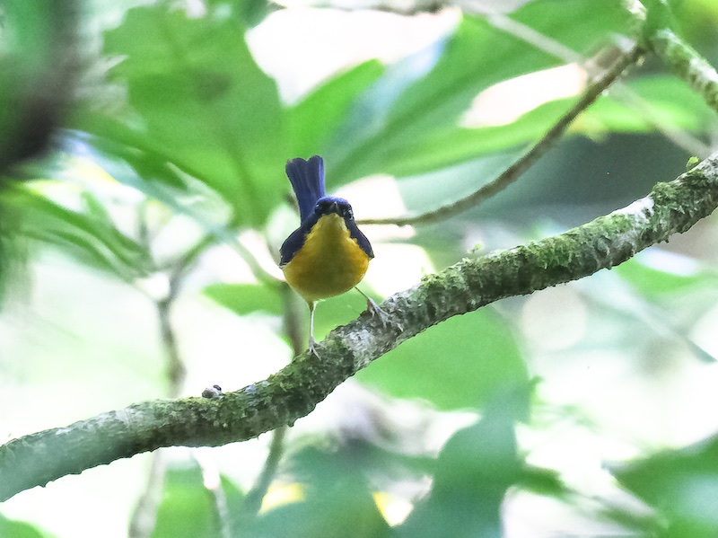 Pygmy Blue Flycatcher