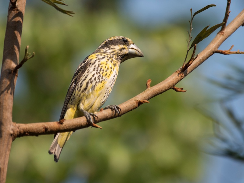 Spot-winged Grosbeak